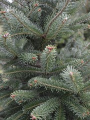 The blue spruce has short sharp needles. It is known