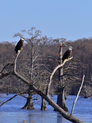 Bald eagles at Reelfoot Lake.