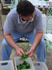 Ken Reynolds picks over geranium cuttings.