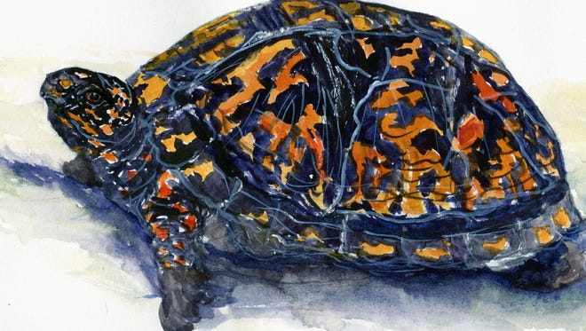 When aggravated, box turtles retreat into their shells until the problem goes away.