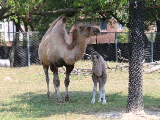 636378814056027778-Camels---Mom-Suren-and-Calf-Rusi-2---Jennie-Miller.JPG