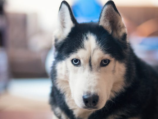 Male siberian husky looking at camera