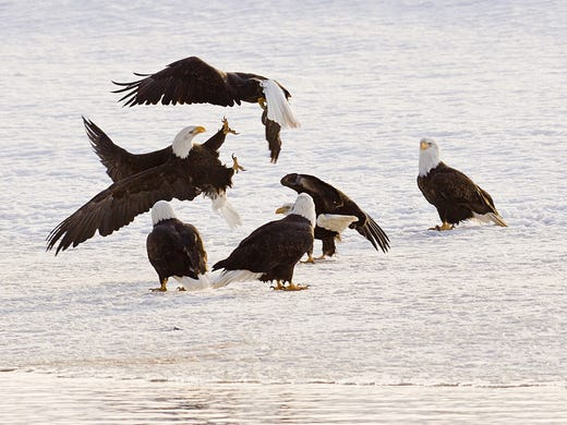 The Alaska Bald Eagle Festival in Haines brings visitors to an Inside Passage community where thousands of eagles gather.
