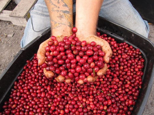 Prime pickings: Ripe coffee berries are sorted by hands at Hula Daddy Kona Coffee.