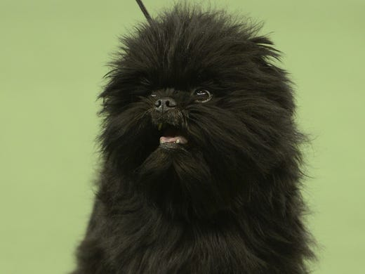 Affenpinscher Gch Banana Joe V Tani Kazari wins Best In Show in the 137th Westminster Kennel Club Dog Show in New York City. A total of 2,721 dogs from 187 breeds and varieties competed in the event.