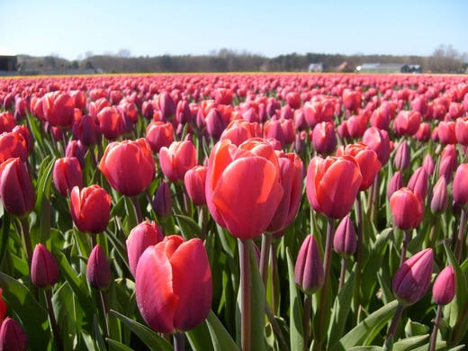 When you think of iconic flower-filled destinations, Holland and its tulips probably come to mind. It's possible to see these colorful blooms in and around Amsterdam during March, April and May, but cycling the Flower Route or visiting the Keukenhof Gardens in Lisse make for better viewing.