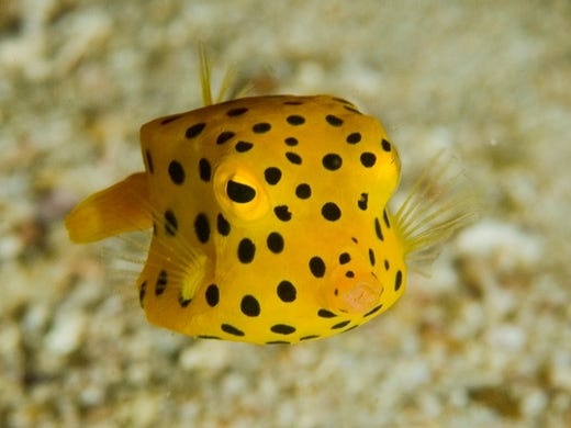 The cube-shaped boxfish is just as cute as it is strange. Most species of these small saltwater fish rarely grow larger than a few inches, making them favorites for private aquarium collections. You can gawk at these little guys at the Oregon Coast Aquarium in Newport.