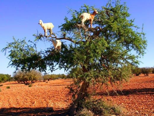 Climbing Goats, Morocco: Goats in these arid deserts have found a way to adapt to difficult-to-find food: They learned to climb argan trees to access the plants nutritious berries. Populations of goats have been doing this for years and are very adept at making their way along the branches. Locals sometimes gather the seed pits from the goats droppings to make argan oil that is used in cooking or in beauty products.