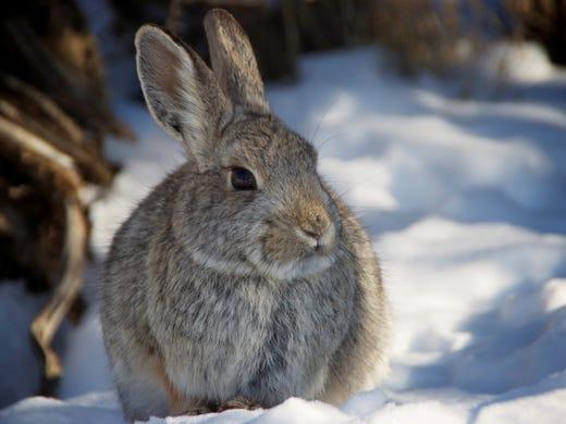 Cottontail rabbit habitat - photo#49