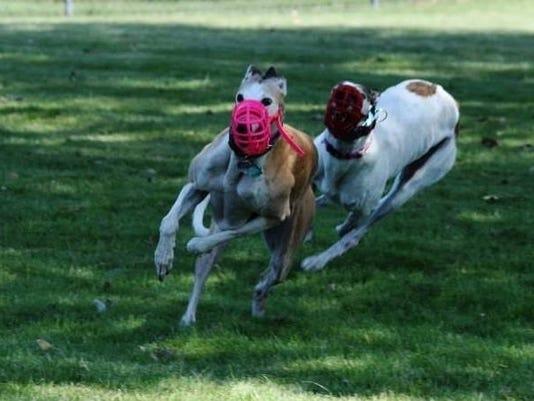 636071551839855171-Greyhounds.jpg