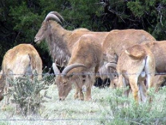 Naturally shy, Barbary sheep are rarely seen. They