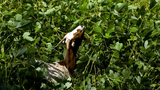 A goat grazes on kudzu at Fort Dickerson Park on July 25, 2010.