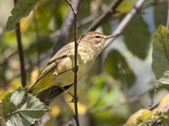 The Palm  Warbler breeds in northern Canada and winters in the southern U.S. and the northern Caribbean. This one was hunting insects at Owen Park recently.