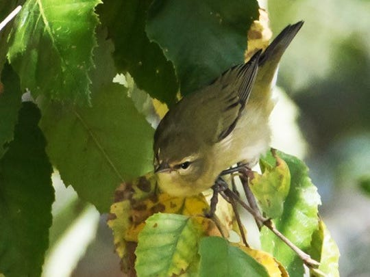 The Tennessee Warbler winters from southern Mexico through Central America to Colombia.