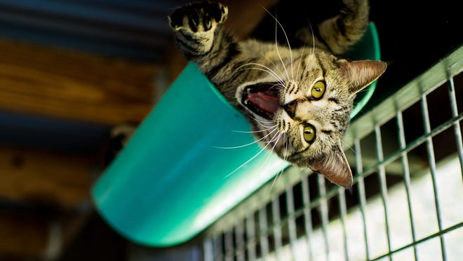 A cat lying on a platform makes a gesture at the camera in the cat cottage at Acadiana Animal Aid, formerly known as Lafayette Animal Aid, in Carencro, La., Wednesday, Sept. 23, 2015.