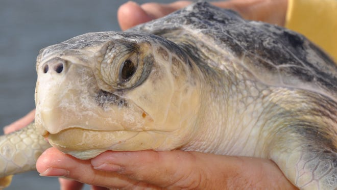 The Kemp's Ridley is the world's most endangered sea turtle species.