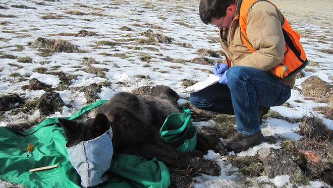An ODFW biologist in the process of collaring wolf OR33, a 2-year-old adult male from the Imanaha Pack. Feb. 25,2015.