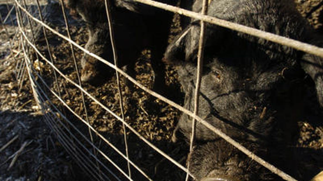 hog industry Production hog production alternatives: livestock production guide - addresses the two different directions in which hog production is currently moving: 1) contracting with large-scale vertical integrators (producers/packers/processors linked from farrowing to packing to the retail counter), and 2) sustainable production of a smaller number of.