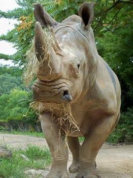 Mondo the Southern white rhino