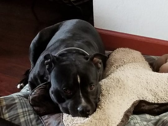 A black and white pit bull was stolen and found severely burned in Soledad earlier this week.