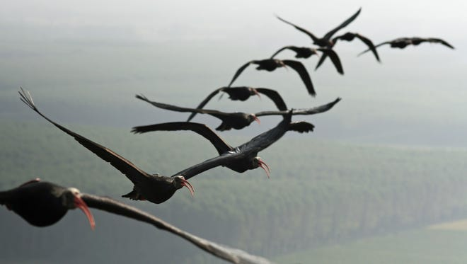 Northern bald ibises take to the air equipped with sensors to to help scientists understand why and how birds fly in V-formations. The birds are hatched in captivity and raised by human foster parents, who ride in a motorized glider to encourage the birds' flight.