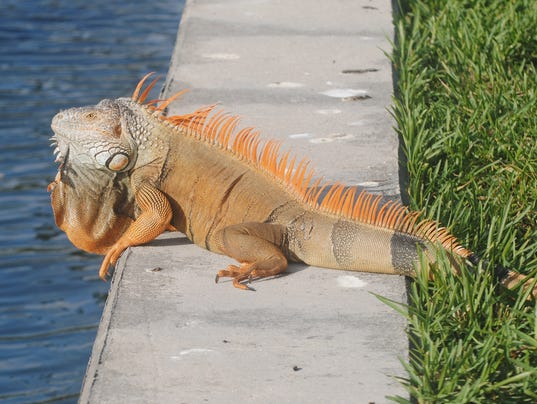 Invasive iguanas on the run from florida fish and wildlife for Invasive fish in florida