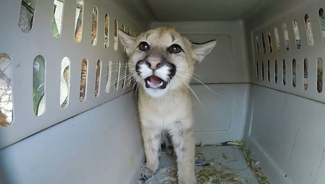 Li:Bi gave her caretakers one last growl before embarking toward her permanent home at Out of Africa, a wildlife park and zoo located in Camp Verde.
