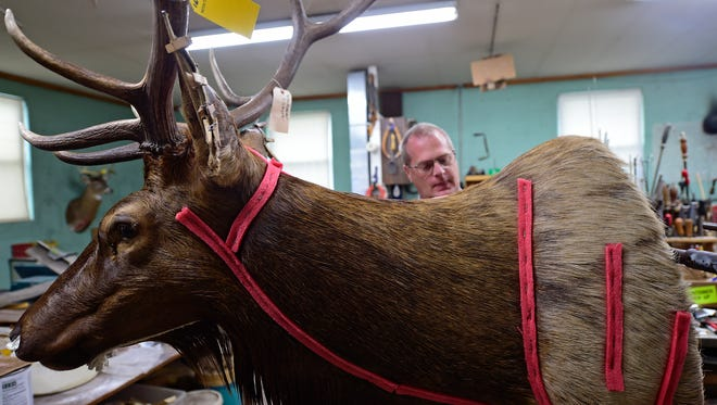 Alan Kauffman from Ness Taxidermy, LLC in Seven Valleys works on an elk mount. Kauffman says October, November and December are the busiest months in the taxidermy business as hunters bring in deer.