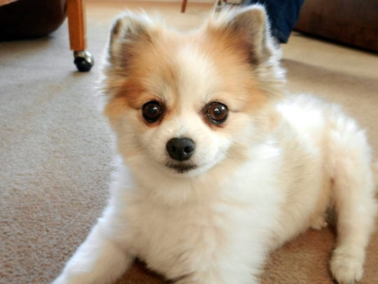 Candy the Pomeranian is getting used to being pampered
