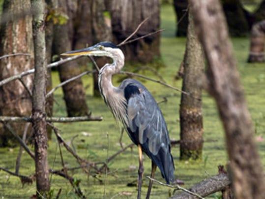-wetland bird nrcs indiana.jpg_20140708.jpg