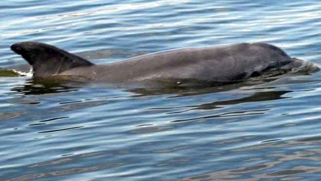 The researchers found 43 of 126 dolphins they tested had antibodies indicating exposure to the Chlamydiaceae bacteria, which can make them more vulnerable to other deadly infections.