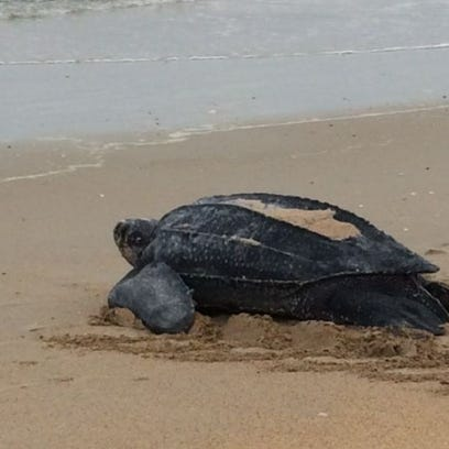 This 800-pound sea turtle was spotted at Canaveral