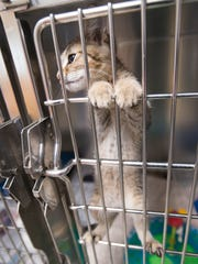 A kitten up for adoption at the Santa Rosa County Animal
