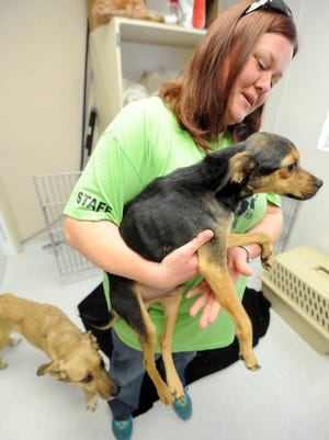 Missy Houghton of the Humane Society of Richland County holds Kermit as Jenny paces next to her. They were two of three dogs rescued in the 100 block of Willow Street in Mansfield in January 2015. A third dog did not survive.