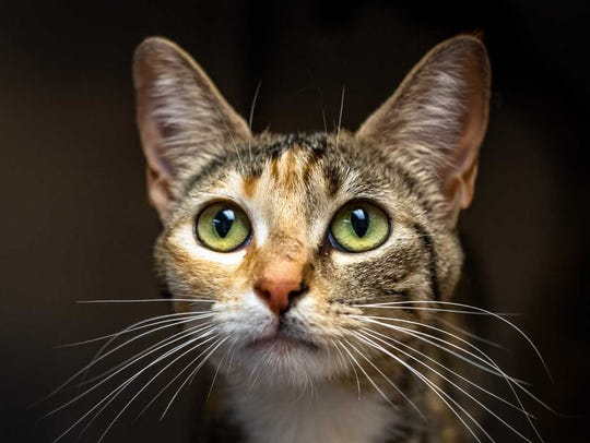 Tootie - Female domestic short hair, adult. Intake