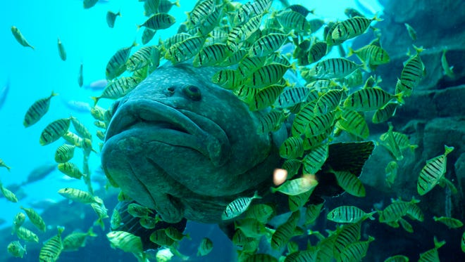 The Supreme Court's docket this term features a fish: the red grouper.