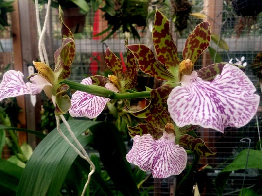 An orchid in bloom at Ball State's Rinard Orchid Greenhouse_balanced.jpg