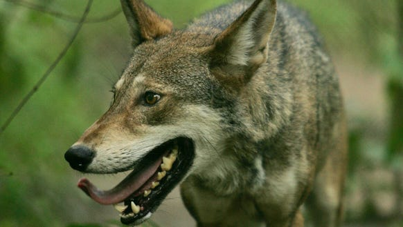 Conditional coyote hunting will start Friday in the