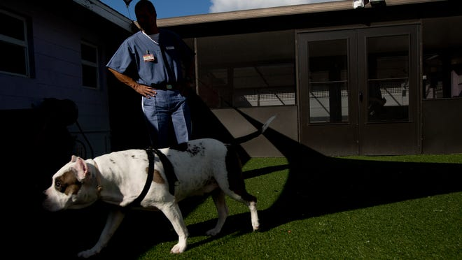 Winky, a blind bull dog is being trained by Edwin Perez, an inmate at the Fort Myers Work Camp Charlotte Correctional Institution. Perez is also training, Abby (not pictured) to help Winky deal with separtation anxiety.