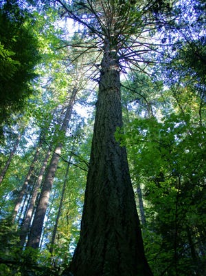 """The BainbridgeIsland City Council has adopted regulationsto protect """"landmark trees."""" One of the species protected is the Douglas fir if the tree has a diameter of 40 inches or more at 4.5 feet above the ground."""