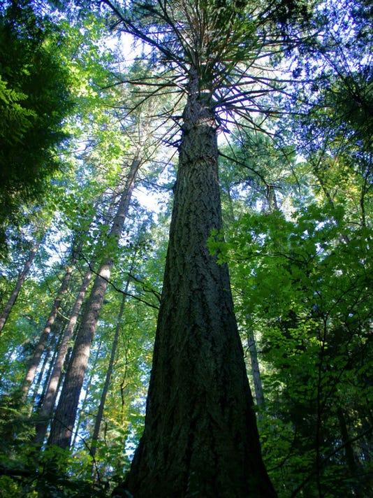 Douglas fir.jpg