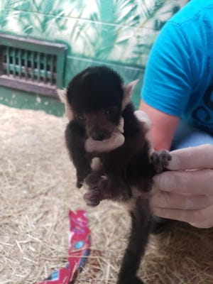 Visitors Monday to the Topeka Zoo's Animals and Man building will have a chance to see this infant black and white ruffed lemur, which was born May 28 at the zoo.
