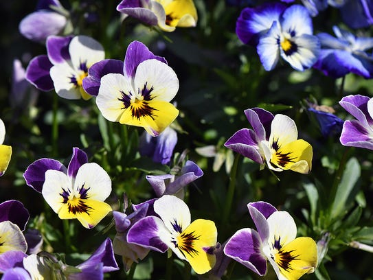 A patch of hybrid pansies in Lucy Park seem to have