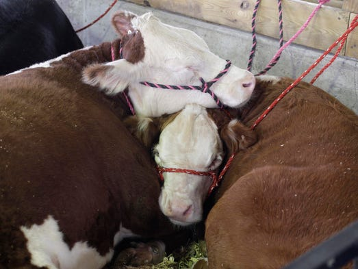 A pair of beef cattle get in a nap at the Sheboygan County Fair Saturday August 30, 2014 in Plymouth.