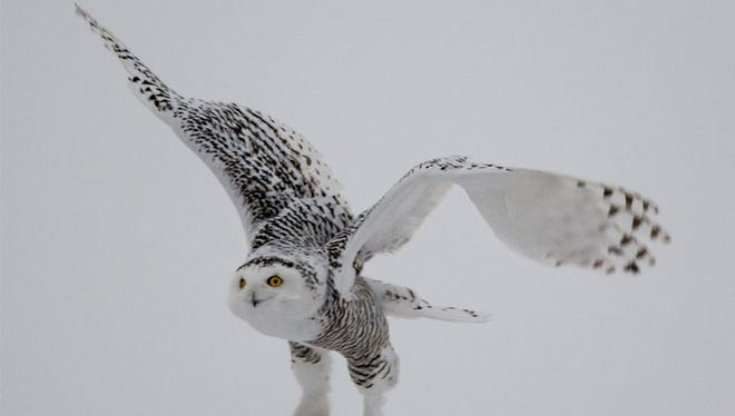 Sharon Olk snapped this photo of a snowy owl in an open area southwest of Appleton on Dec. 7, 2014.