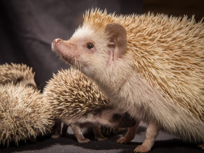 A hedgehog mom with her three week old hoglets at the Oregon Zoo.