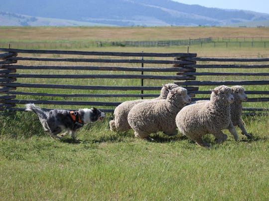 Gracie practices herding domestic sheep with trainers from the Wind River Institute.