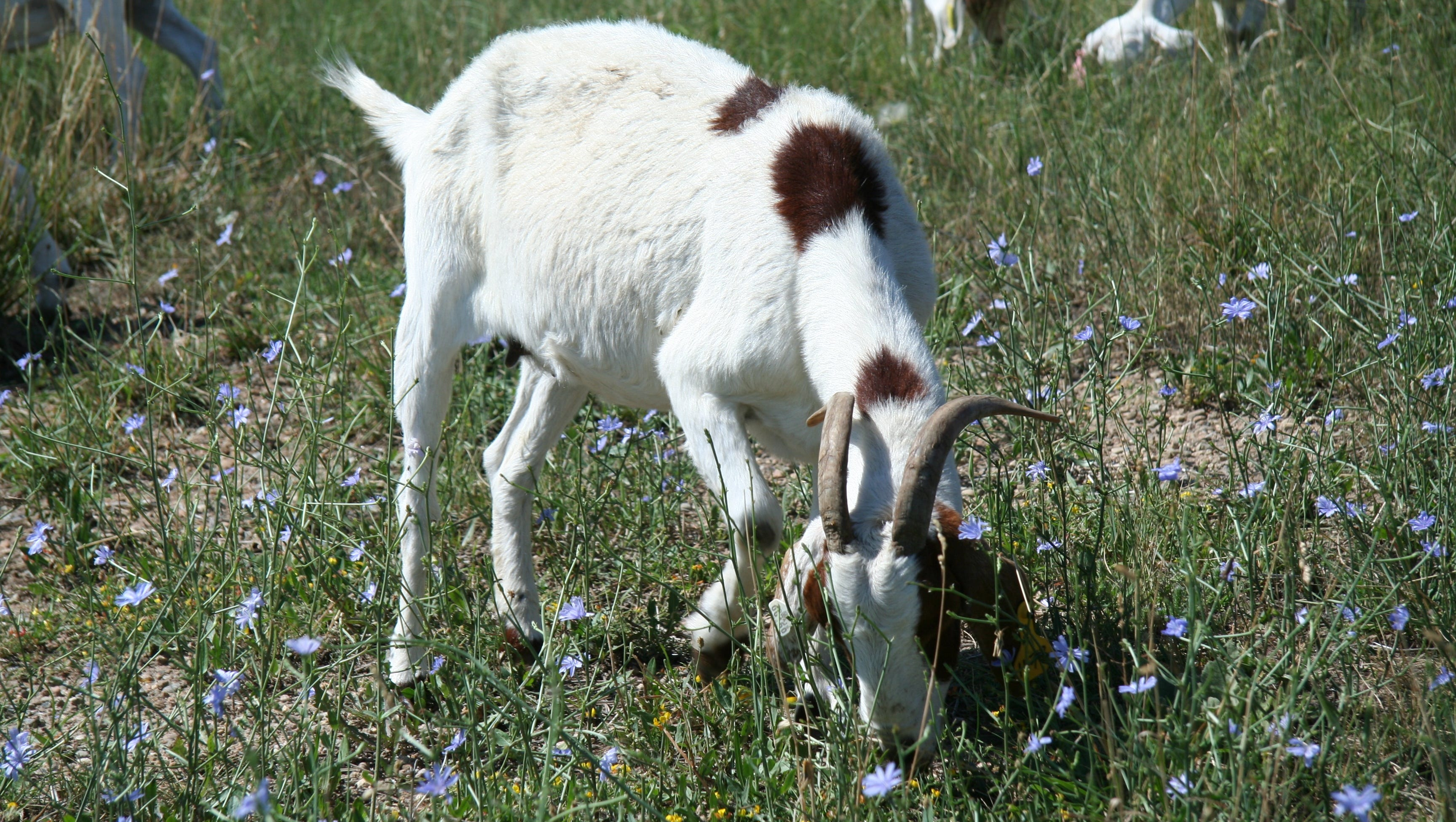 Goats from the Lazy H Ranch in Keenesburg, Colo., graze on a mountain park property south of Boulder to reduce chicory.