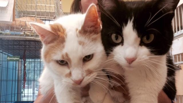 Tigger, left, a 15-year-old, front-declawed male, and 3-year-old Marshmallow, were surrendered together and need to stay together. A quiet, cuddly couple looking for a forever home.