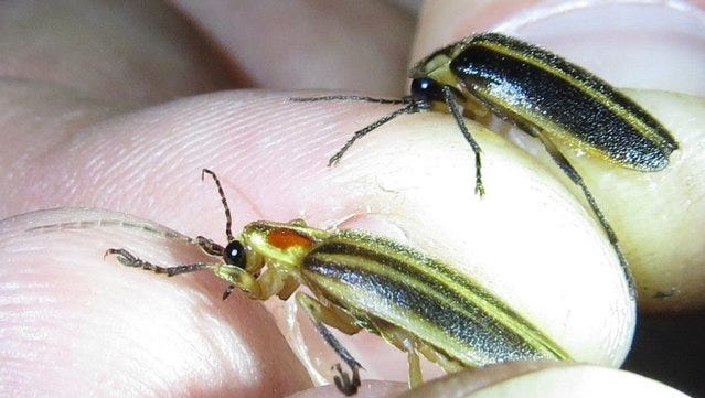 Synchronous fireflies, called snappy syncs, may be more widespread in East Tennessee than previously realized.